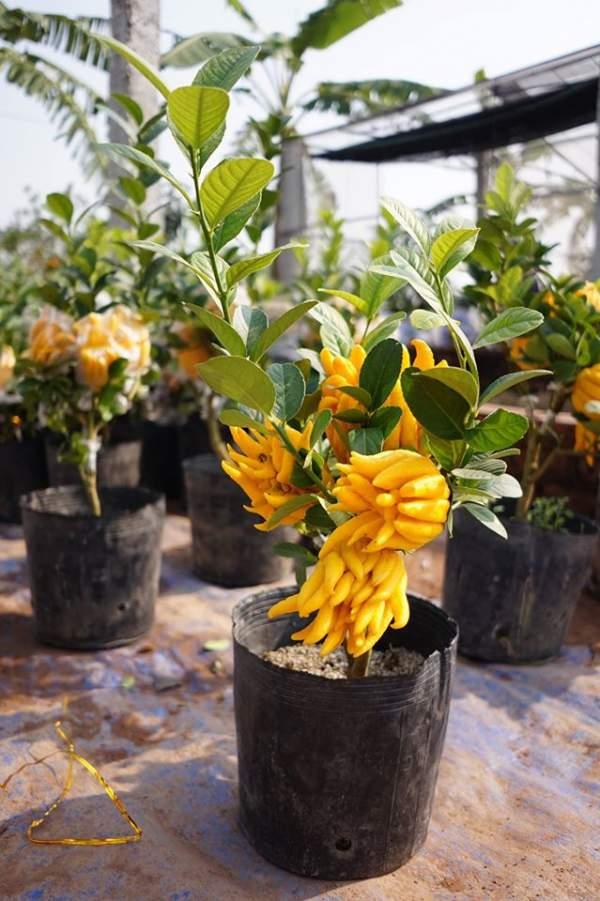 Phật thủ bonsai giá hàng chục triệu ở làng Đắc Sở 1