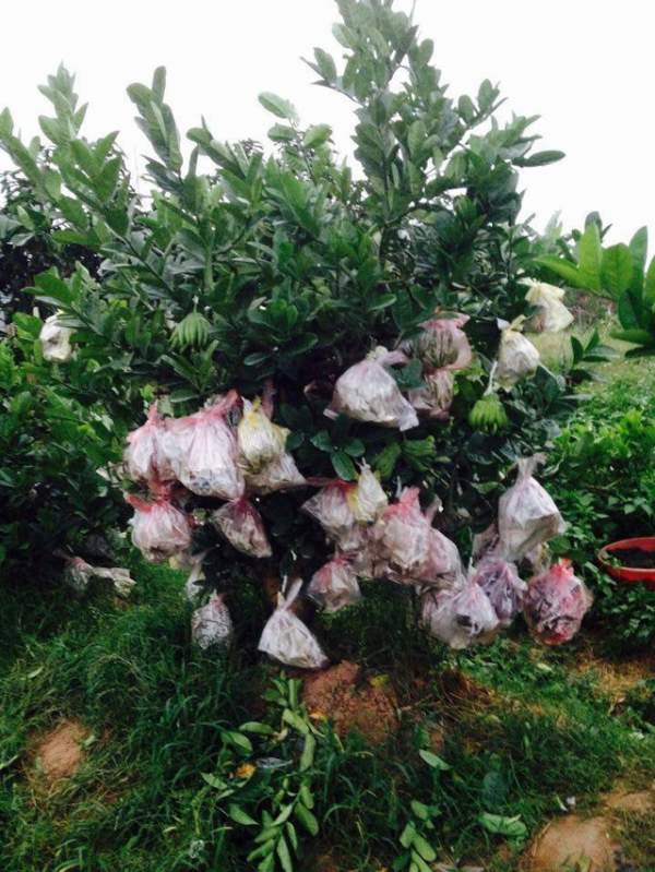 Phật thủ bonsai giá hàng chục triệu ở làng Đắc Sở 4
