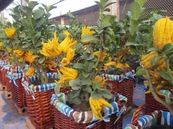 Phật thủ bonsai giá hàng chục triệu ở làng Đắc Sở 2
