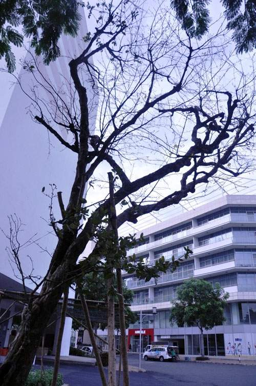 Cây mai 160 tuổi, cao 6m, giá 1,6 tỷ xuất hiện ở Sài Gòn 2
