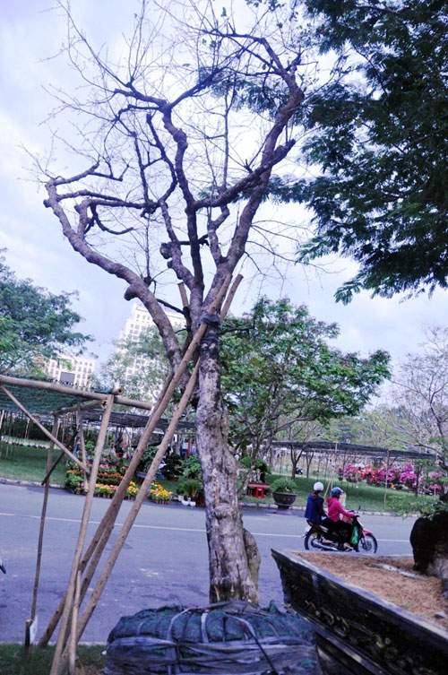 Cây mai 160 tuổi, cao 6m, giá 1,6 tỷ xuất hiện ở Sài Gòn 9