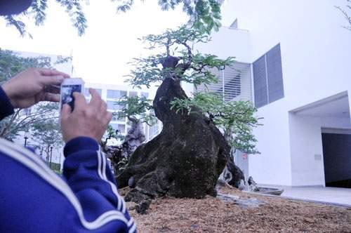 Cây mai 160 tuổi, cao 6m, giá 1,6 tỷ xuất hiện ở Sài Gòn 12