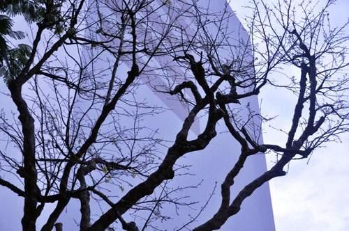 Cây mai 160 tuổi, cao 6m, giá 1,6 tỷ xuất hiện ở Sài Gòn 6