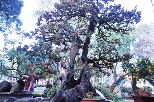 Ngắm cây dâu hàng chục năm tuổi trái sum suê, chín mọng ở SG 9