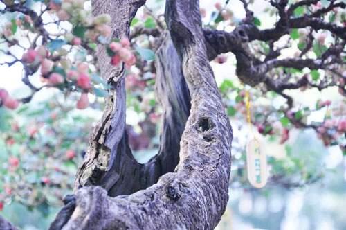 Ngắm cây dâu hàng chục năm tuổi trái sum suê, chín mọng ở SG 3