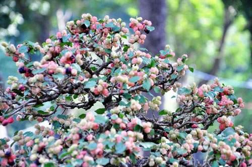 Ngắm cây dâu hàng chục năm tuổi trái sum suê, chín mọng ở SG 7