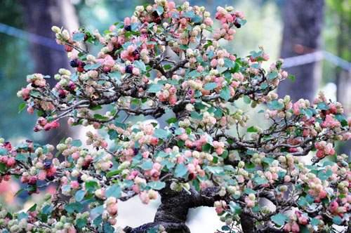 Ngắm cây dâu hàng chục năm tuổi trái sum suê, chín mọng ở SG 1