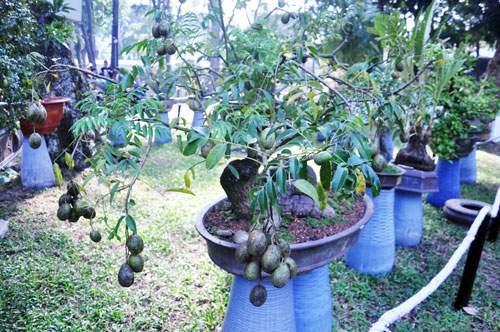 Ngắm cây dâu hàng chục năm tuổi trái sum suê, chín mọng ở SG 17