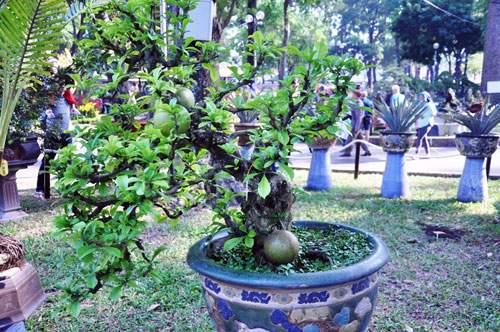 Ngắm cây dâu hàng chục năm tuổi trái sum suê, chín mọng ở SG 10