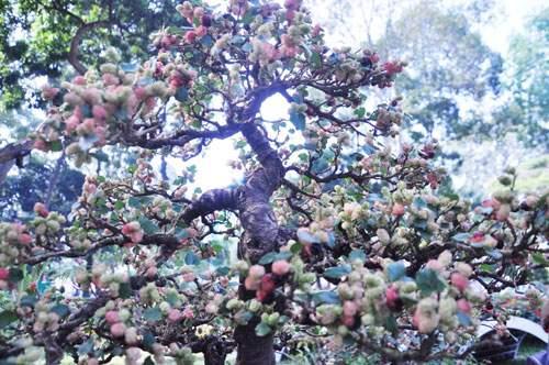 Ngắm cây dâu hàng chục năm tuổi trái sum suê, chín mọng ở SG 6