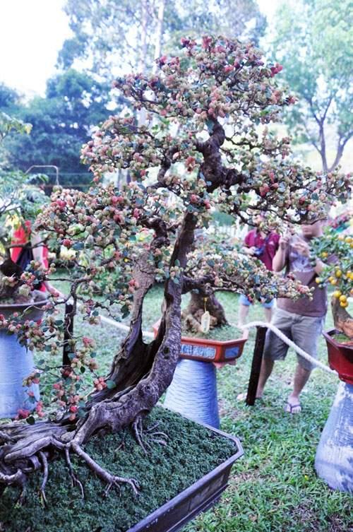 Ngắm cây dâu hàng chục năm tuổi trái sum suê, chín mọng ở SG 2