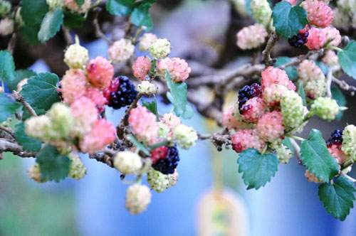 Ngắm cây dâu hàng chục năm tuổi trái sum suê, chín mọng ở SG 8
