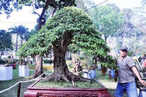 Ngắm cây dâu hàng chục năm tuổi trái sum suê, chín mọng ở SG 11