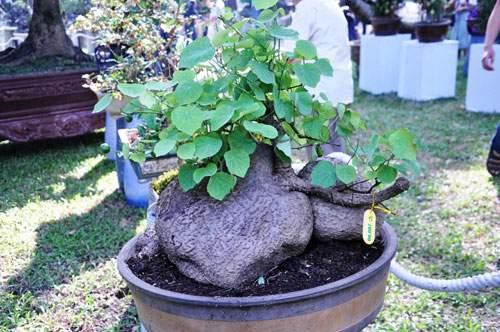 Ngắm cây dâu hàng chục năm tuổi trái sum suê, chín mọng ở SG 15