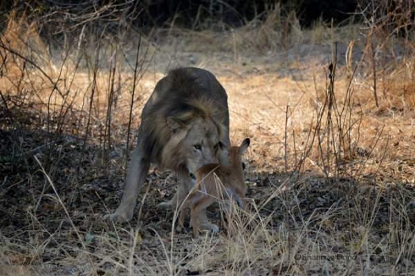 Sư tử ngoạm cổ nai con sau 30 phút làm bạn 3