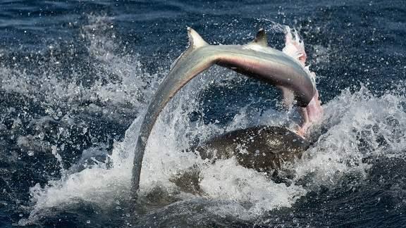 Sư tử biển 3 tạ cắn đứt đầu cá mập, ăn tươi nuốt sống 5