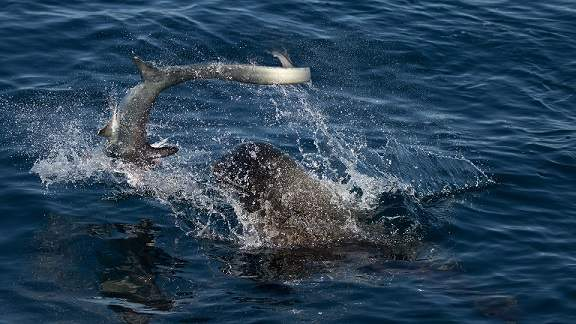Sư tử biển 3 tạ cắn đứt đầu cá mập, ăn tươi nuốt sống 2
