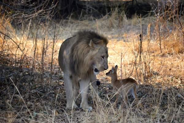 Sư tử ngoạm cổ nai con sau 30 phút làm bạn 1
