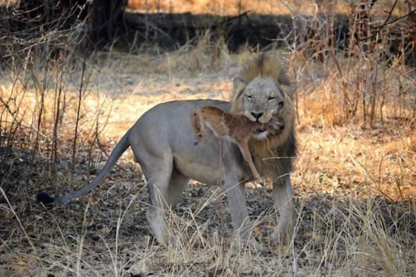 Sư tử ngoạm cổ nai con sau 30 phút làm bạn 5