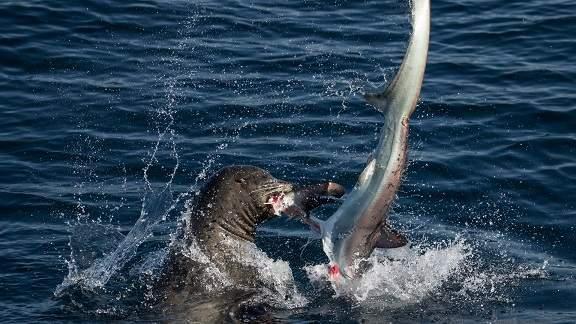 Sư tử biển 3 tạ cắn đứt đầu cá mập, ăn tươi nuốt sống 6