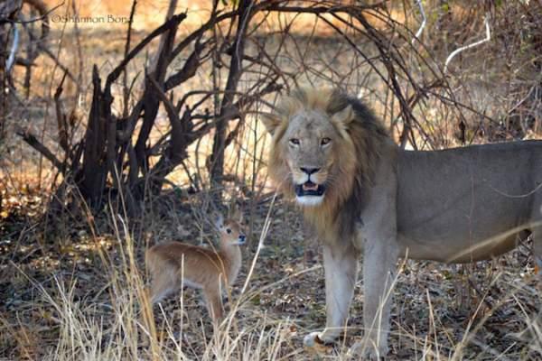 Sư tử ngoạm cổ nai con sau 30 phút làm bạn 2