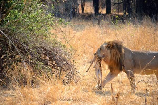 Sư tử ngoạm cổ nai con sau 30 phút làm bạn 6