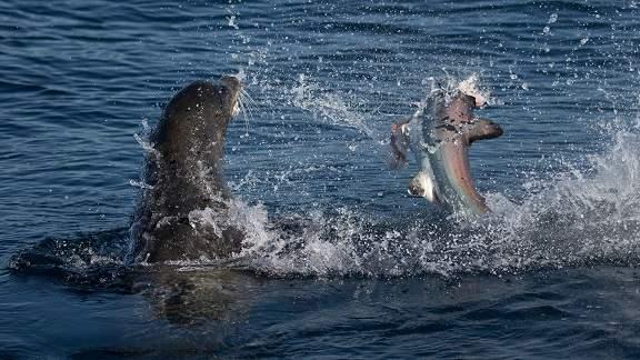 Sư tử biển 3 tạ cắn đứt đầu cá mập, ăn tươi nuốt sống 3