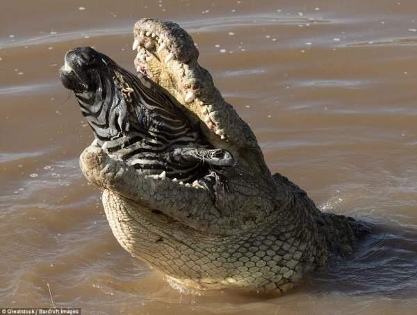 """Ngựa vằn nằm trong bụng cá sấu, đầu """"ngắc ngoải"""" thò ra 2"""