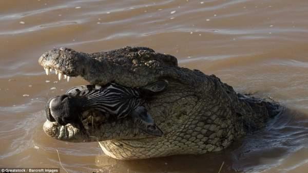 """Ngựa vằn nằm trong bụng cá sấu, đầu """"ngắc ngoải"""" thò ra 5"""