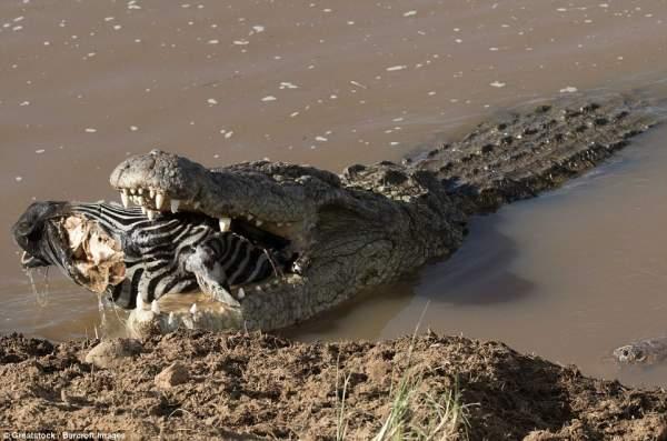 """Ngựa vằn nằm trong bụng cá sấu, đầu """"ngắc ngoải"""" thò ra 4"""