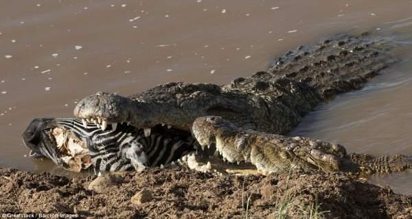 """Ngựa vằn nằm trong bụng cá sấu, đầu """"ngắc ngoải"""" thò ra 3"""