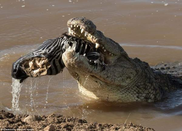 """Ngựa vằn nằm trong bụng cá sấu, đầu """"ngắc ngoải"""" thò ra 6"""