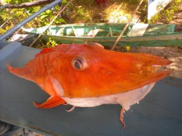 """Philippines: Bắt được cá biển """"bọc thép"""" cực kỳ quý hiếm 2"""