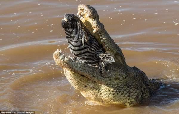 """Ngựa vằn nằm trong bụng cá sấu, đầu """"ngắc ngoải"""" thò ra 1"""