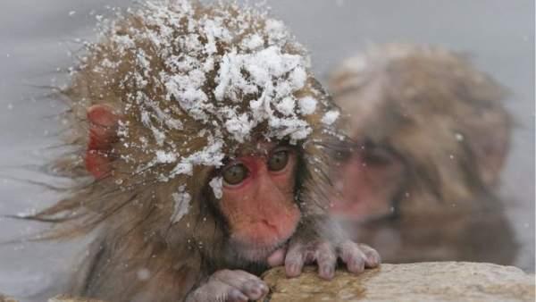 Vì môi trường, sở thú Nhật giết 57 khỉ tuyết 1