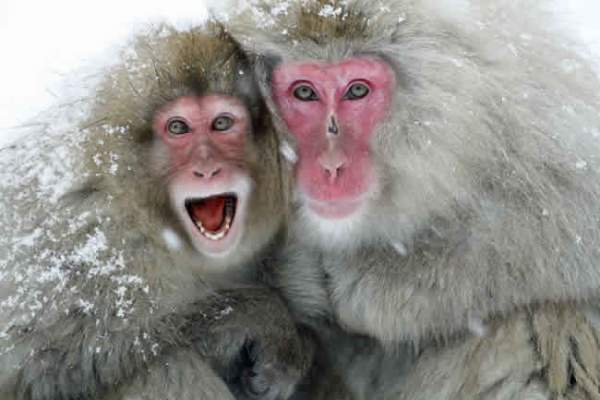 Vì môi trường, sở thú Nhật giết 57 khỉ tuyết 2