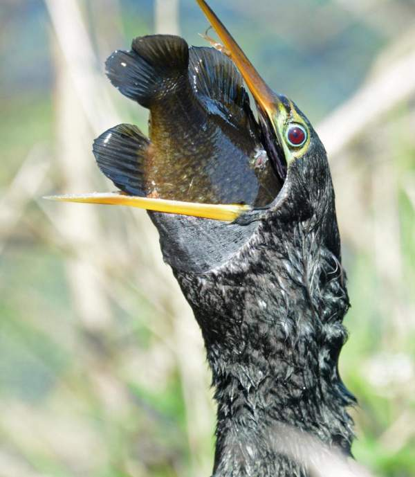 Chim cổ rắn tham lam nuốt cá to gấp 3 lần đầu 4