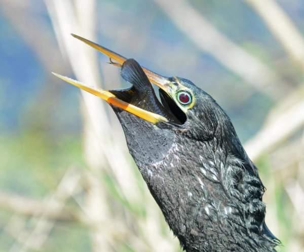 Chim cổ rắn tham lam nuốt cá to gấp 3 lần đầu 5