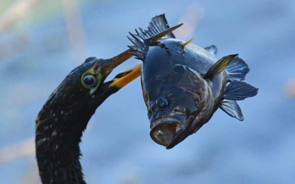 Chim cổ rắn tham lam nuốt cá to gấp 3 lần đầu 2