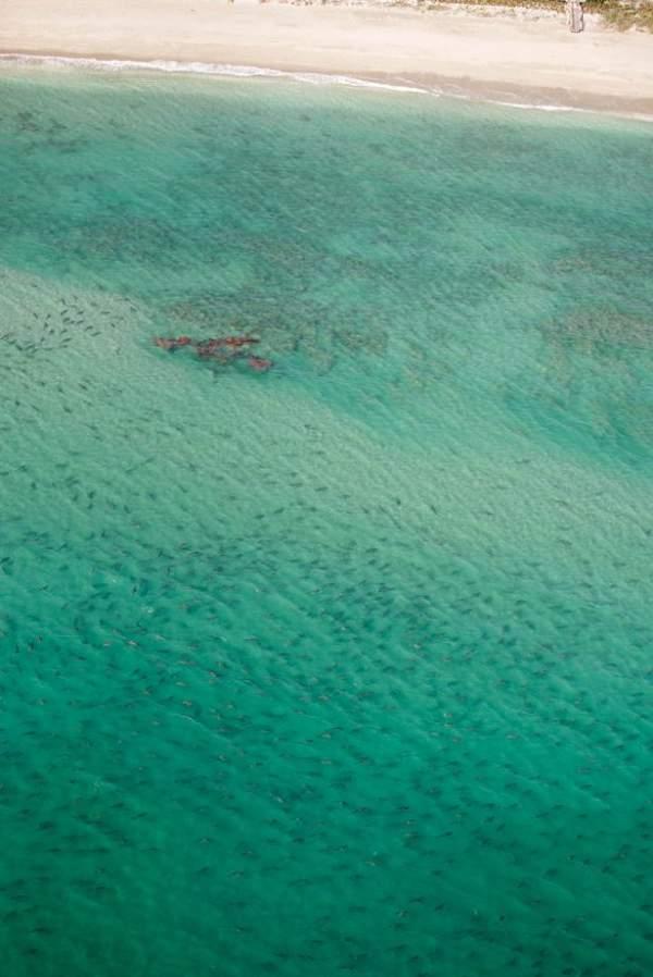 Rợn tóc gáy cảnh hàng nghìn cá mập vây kín bờ biển Mỹ 3
