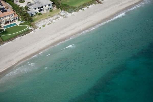 Rợn tóc gáy cảnh hàng nghìn cá mập vây kín bờ biển Mỹ 1