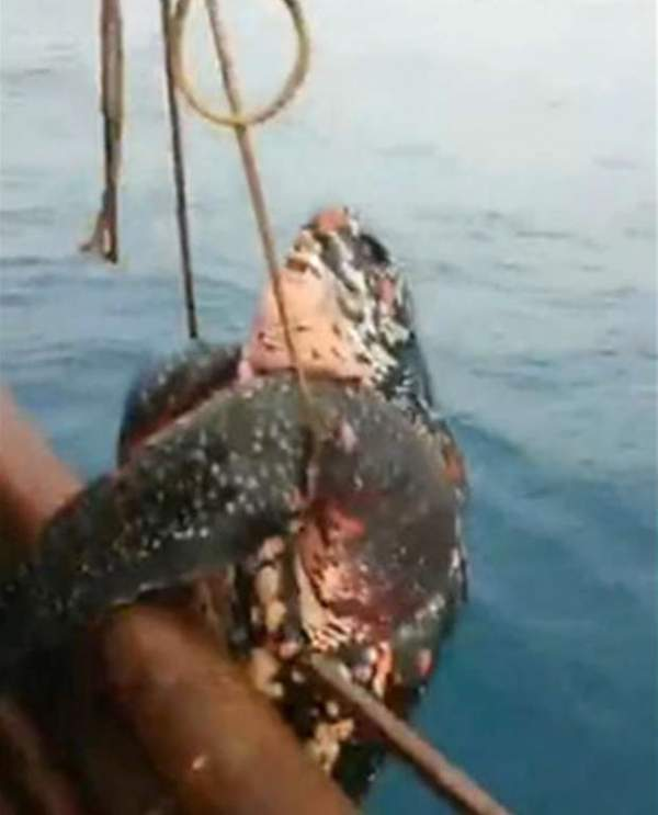 TQ: Đi câu mực, giật mình bắt được rùa hiếm khổng lồ 2