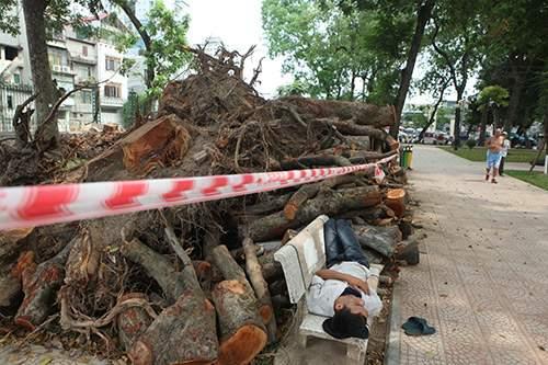 Hà Nội chặt hạ hàng loạt cây xà cừ trong Công viên Thống Nhất 1