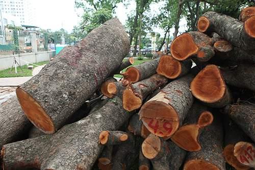 Hà Nội chặt hạ hàng loạt cây xà cừ trong Công viên Thống Nhất 7