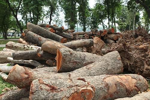 Hà Nội chặt hạ hàng loạt cây xà cừ trong Công viên Thống Nhất 3