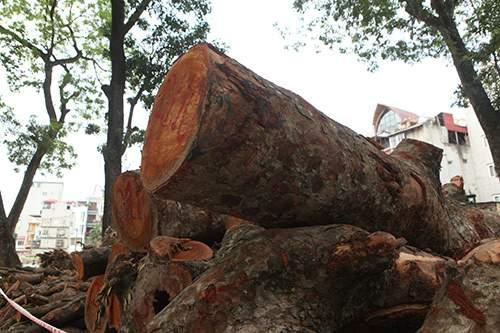 Hà Nội chặt hạ hàng loạt cây xà cừ trong Công viên Thống Nhất 9