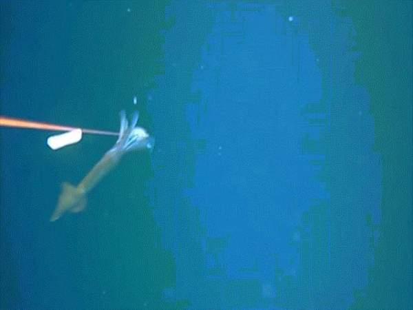 """Quái vật biển sâu """"tàng hình"""" xé xác bạch tuộc khổng lồ 3"""