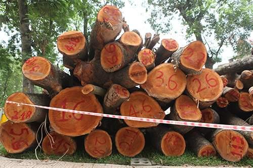 Hà Nội chặt hạ hàng loạt cây xà cừ trong Công viên Thống Nhất 6