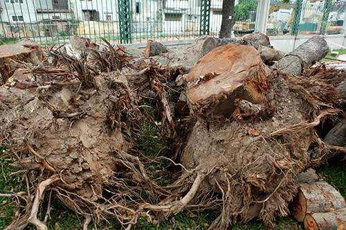 Hà Nội chặt hạ hàng loạt cây xà cừ trong Công viên Thống Nhất 4