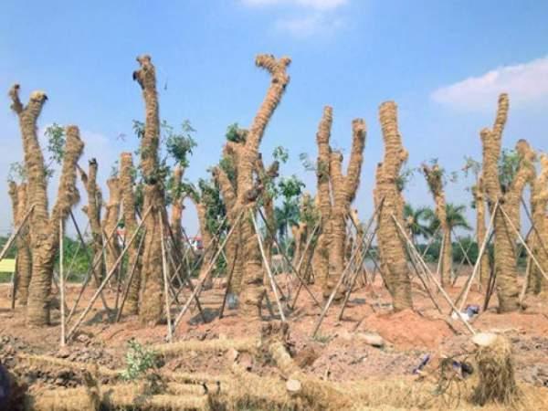 Hà Nội chặt hạ hàng loạt cây xà cừ trong Công viên Thống Nhất 10